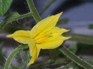 tomato blossom 09